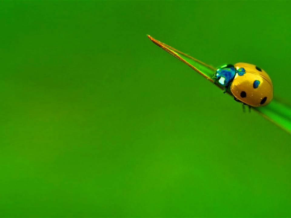 七星瓢虫自然动物PPT模版下载