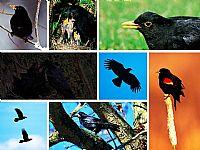 可爱黑色小鸟PPT模板