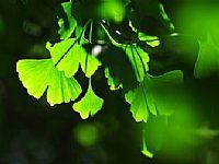 绿色银杏叶子ppt背景图片